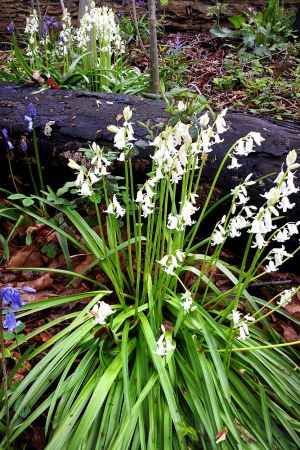 Brinciffe Edge Wood bursting into life