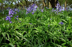 More scouse bluebells!