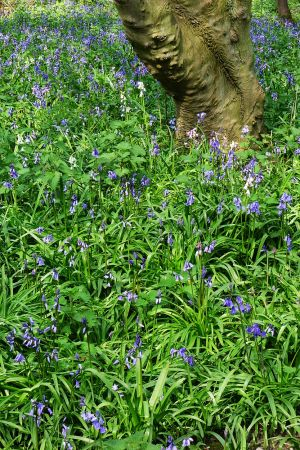 And yet more bluebells