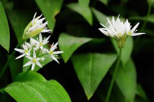 Yorkshire wild garlic flowers #1