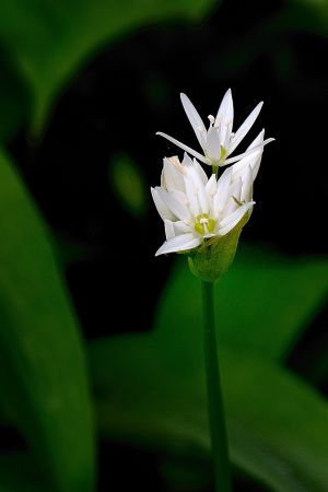 Yorkshire wild garlic flowers #2