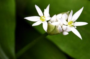 Yorkshire wild garlic flowers #4