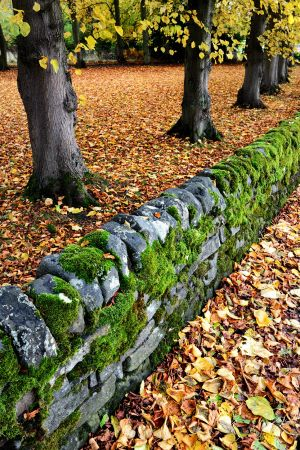 Trees, Walls and Leaves in Grindleford