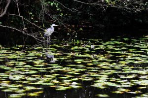 Heron in pond, Whitely Wood, Sheffield