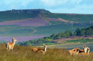 Wild deer and Higgar Tor, Peak District