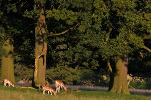 Chatsworth Deer #2