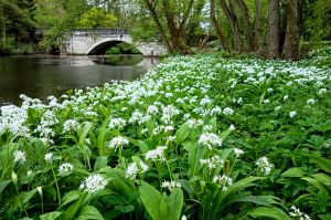 Wild garlic carpet at Calver Sough
