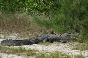 A (not so) friendly local at The Everglades