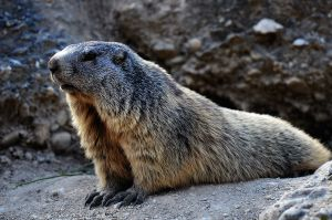 Marmot, Mont Dolphin, Durance Valley, France